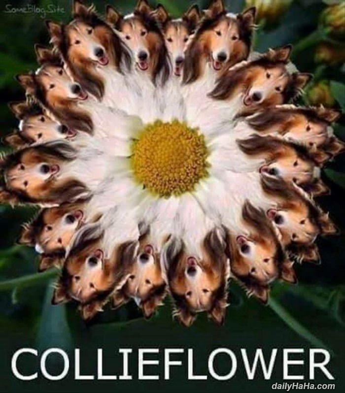 a collieflower funny picture