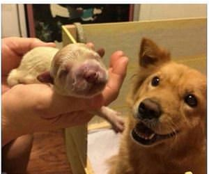 a very proud new father dog funny picture