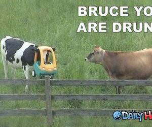Drunken Cow funny picture