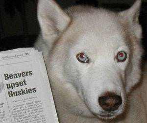 Huskies Are Upset funny picture