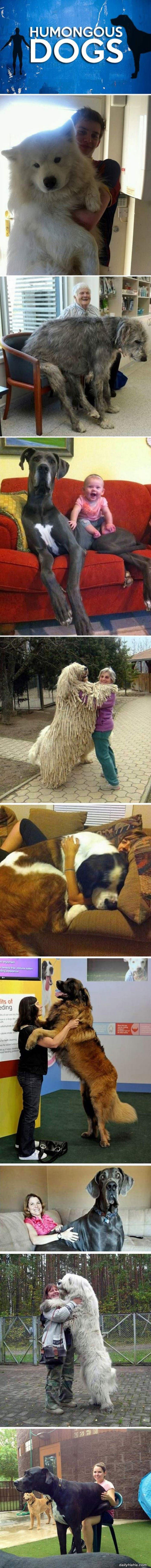 big dogs funny picture