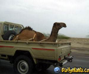 This is the new way to transport camels!