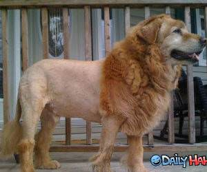 Lion Dog funny picture