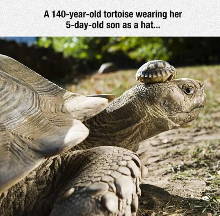 cute tortoise hat funny picture