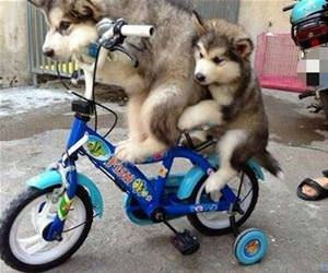 cycling is good if you are a little husky