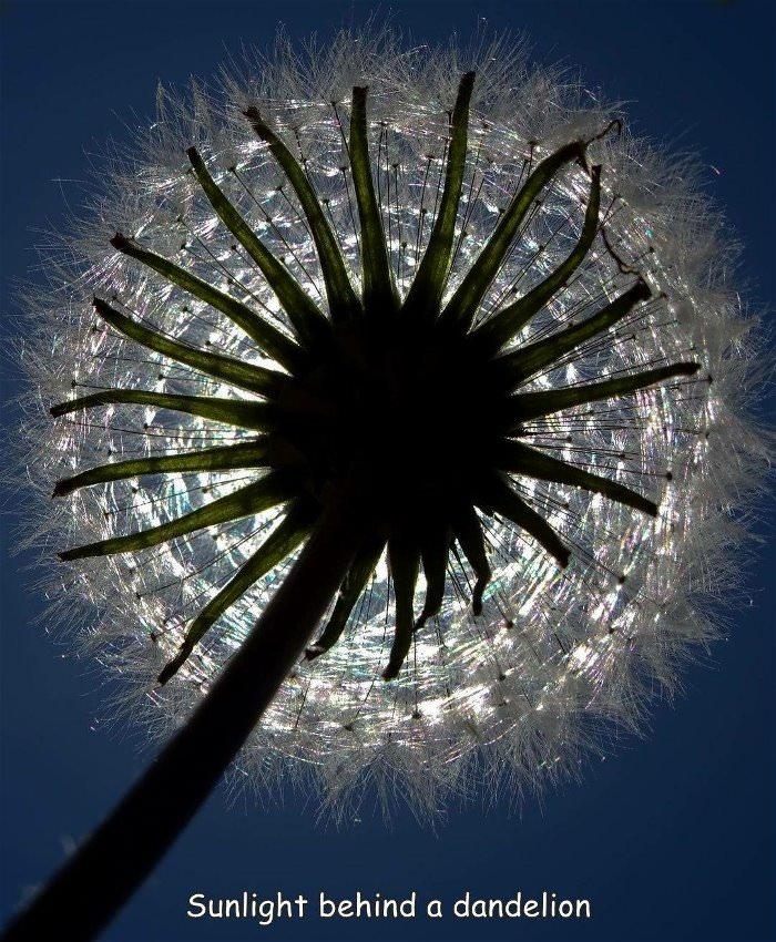 dandelion sun blocker