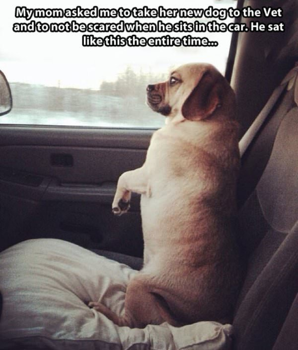 Dog Ride to The Vet funny picture