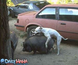 Dog Humping Pig Picture