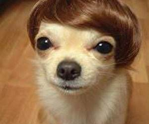 dog wearing a Wig