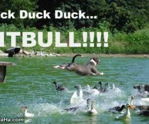 duck duck duck pitbull funny picture
