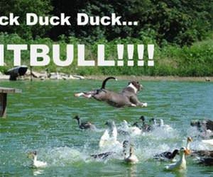 duck duck duck funny picture