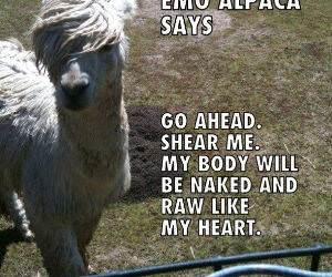 Emo Alpaca funny picture