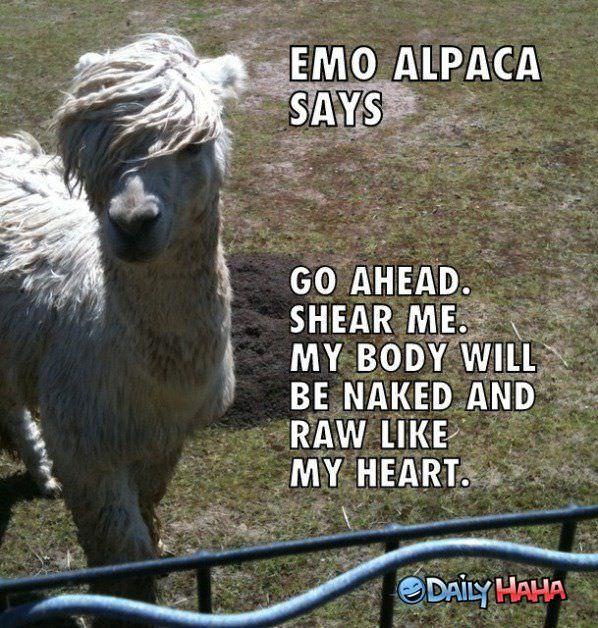 Man Knitting Meme : Emo alpaca