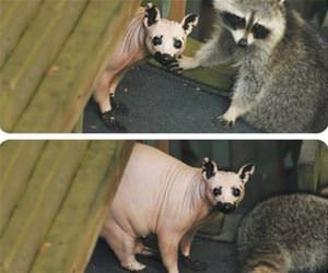 ever see a hairless racoon funny picture