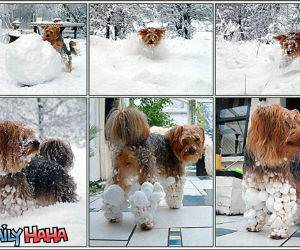 Fluffy Snowball Dog