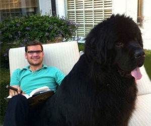 giant lap dogs funny picture