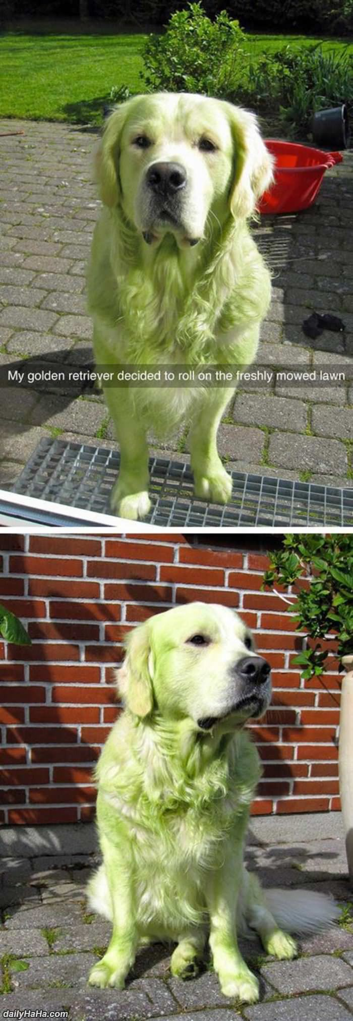 golden in the freshly mowed lawn funny picture