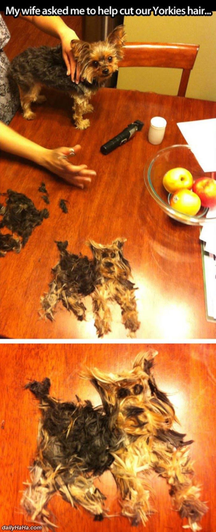 help cut the yorkies hair funny picture