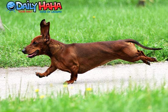 Hot dog running.