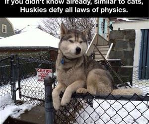 huskies funny picture