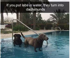 labs in water funny picture