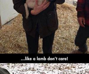 lambs funny picture