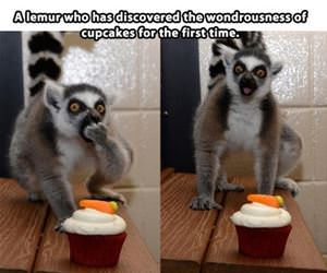 lemur enjoying a cupcake funny picture