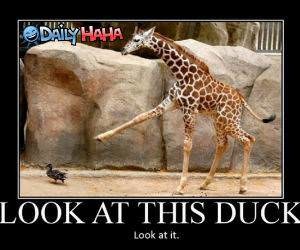 Look at This Duck funny picture