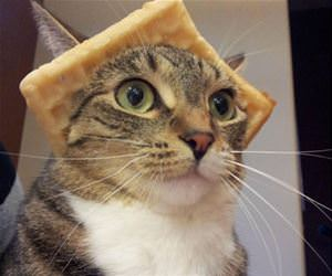 majestic wafflecat funny picture