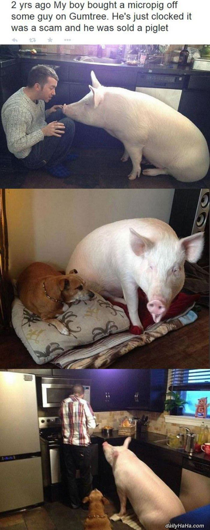 micro pig funny picture