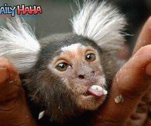 Monkey Reverse Mohawk Picture