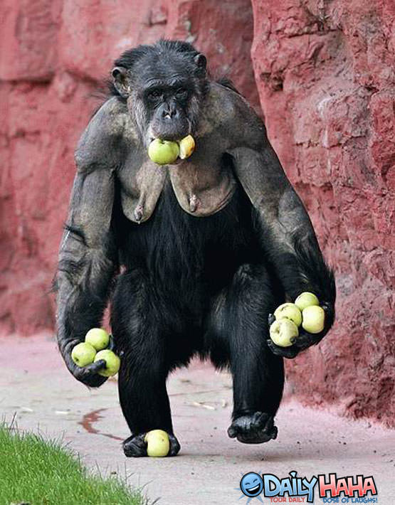 Monkey with apples Picture