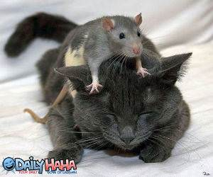 Mouse Massaging Cat Picture