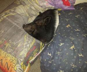 oscar the pig funny picture