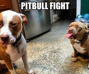 How Pitbulls Fight funny picture