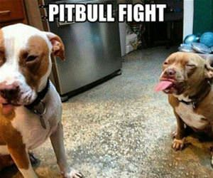 pitbull fight funny picture