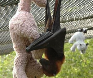 ralphie the bat funny picture