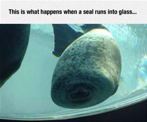 seal runs into the glass funny picture