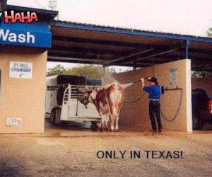 Texas Car (cow) wash