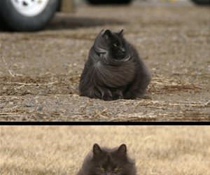 the majestic cat is coming funny picture
