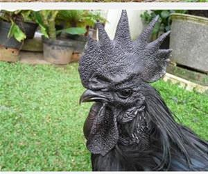 the most metal chicken ever funny picture