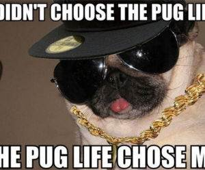 the pug life funny picture