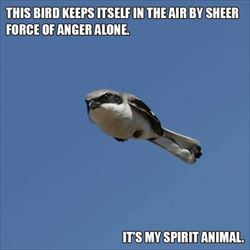 this bird flys angry
