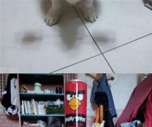 this corgi can balance anything funny picture