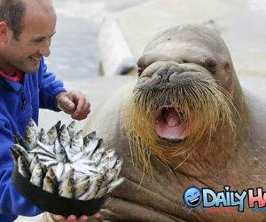 Walrus Eating Fish Picture