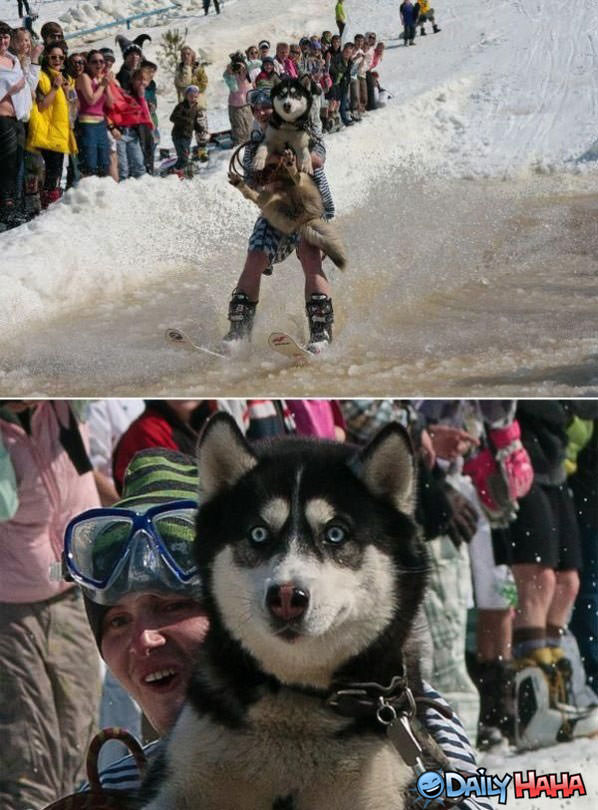 Water skiing dog funny picture