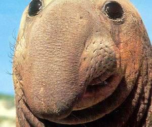 Walrus ?