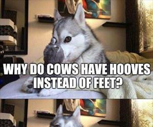 why do cows