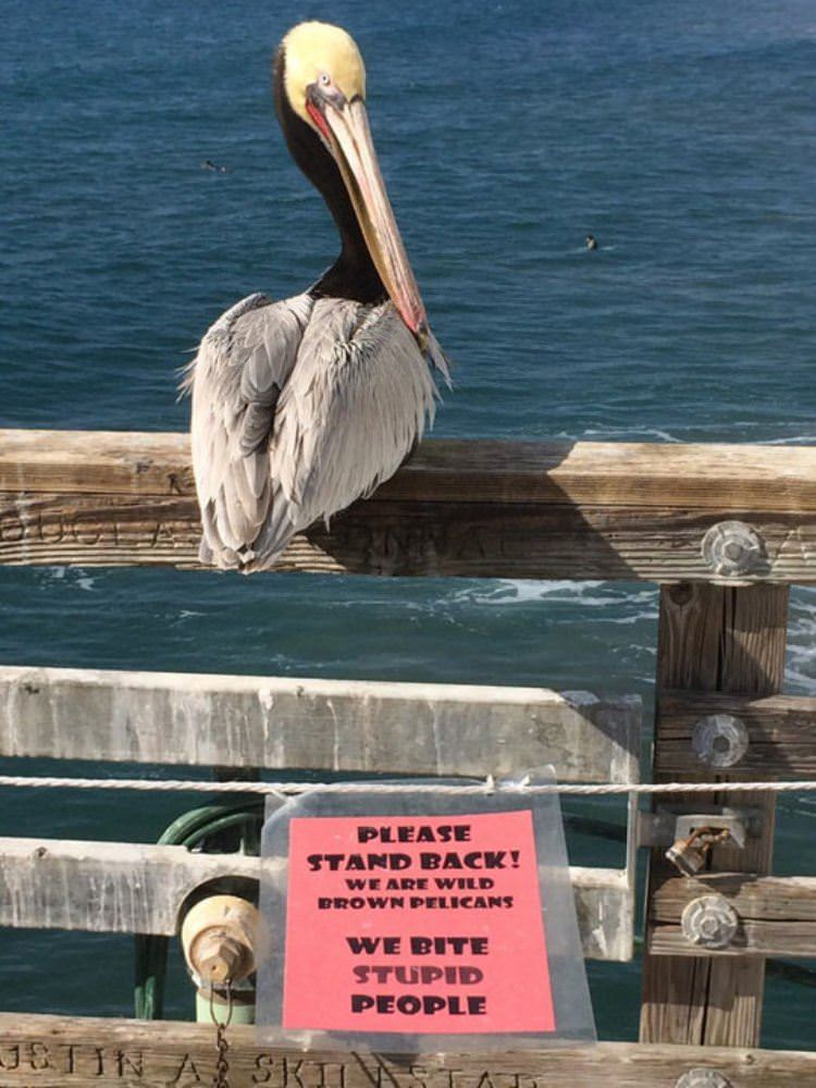 wild brown pelicans sign funny picture