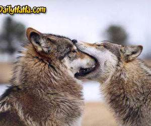Wolf Kissing